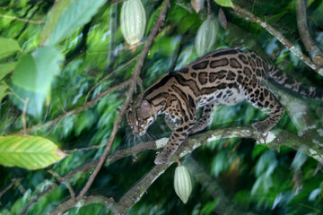 Margay in a Cacao Tree, Panama