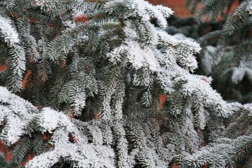 Tanne mit Frost