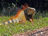 an exotic lizard iguana sighted in Florida poster