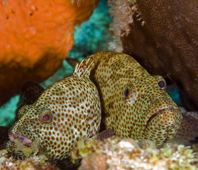 Two groupers