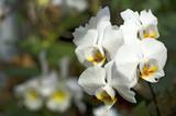Fototapety Orchideen Zuchtformen