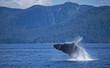 Humpback whale breach, Frederick Sound SW Alaska