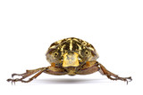 Tropical Rainforest Beetle - Polyphylla fullo poster