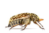 Tropical Rainforest Beetle - Polyphylla fullo. poster