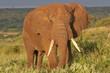 Leinwanddruck Bild Elefantenbulle in Serengeti