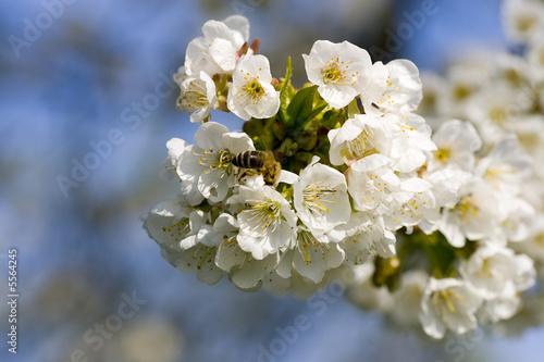 Leinwandbild Motiv Apfelblüte mit Biene