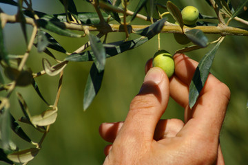 Collecting olives