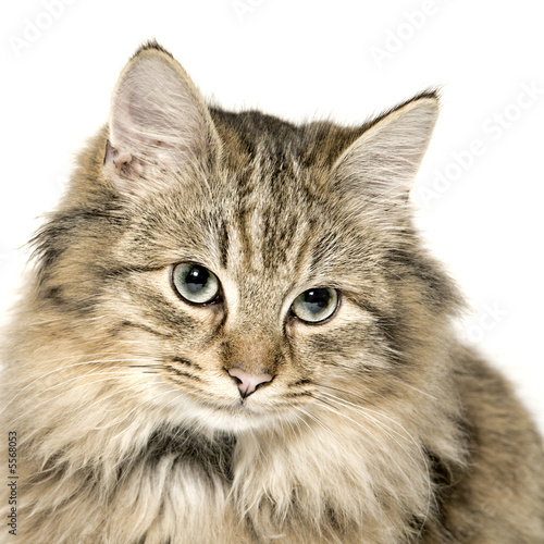 Papiers peints Lynx Very cute long haired kitten