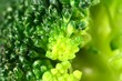 Green broccoli macro