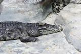 Crocodile in captivity. poster