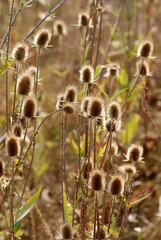 Burdock in field..