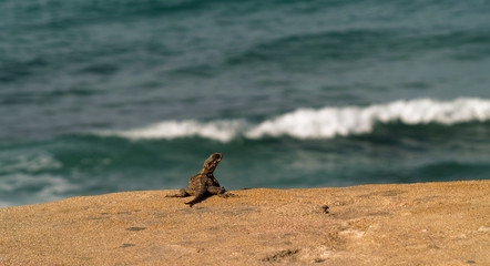 Brown lizard standing on rock by ocean