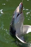 ein Hai hält seine Beute fest Australien_07_1532 poster