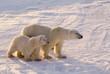 Polar bear with her cub.  Canadian Arctic