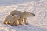 Polar bear with her cub. Canadian Arctic