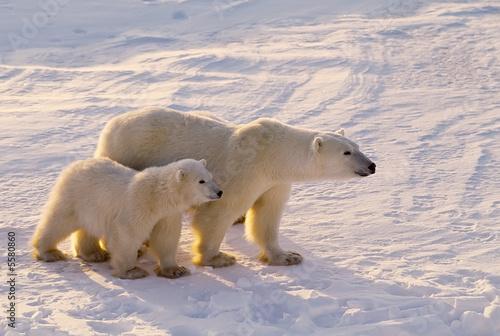 Polar bear with her cub.  Canadian Arctic - 5580860