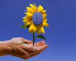 Solarblume Hand