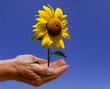 Sonnenblume Hände
