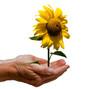 Hände Sonnenblume freigestellt