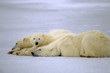 Polar bear with her yearling cubs. Canadian Arctic
