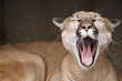 Yawning Mountain Lion (Puma concolor)