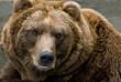 roleta: Brown Bear (Ursus arctos)