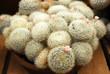 Cactus mammilaria plumosa