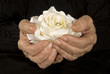 very old hands holding white rose
