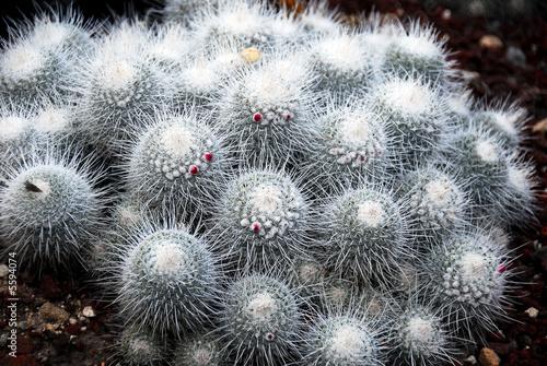 Cactus Mammillaria Geminispina