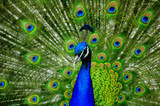 Peacock Display