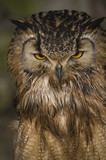 Bengal Eagle Owl (Bubo Bubo Bengalensis) - portrait orientation poster