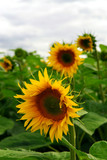 Summer sunflower field with overcast cloudy sky poster