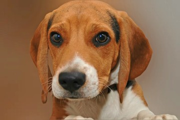 Beagle on Brown