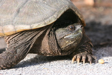 SNAPPING TURTLE ADULT