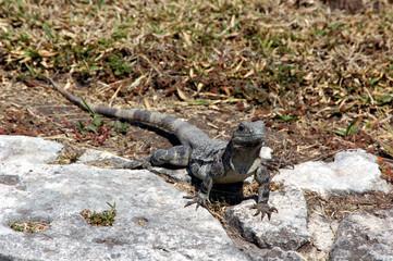 iguana selvatica e libera in natura che cammina tra le rocce