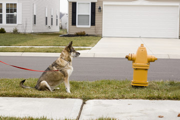 Dog waiting to get to fire hydrant