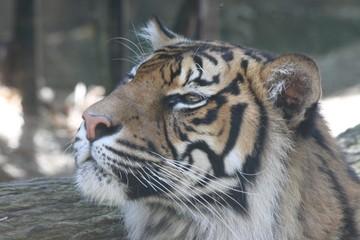 Bengal tiger 9