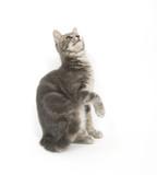 Kitten begging for treats poster