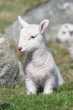 Slightly shy newly-born lamb in a lush meadow poster