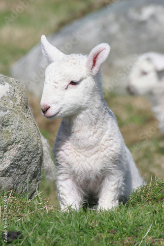 Slightly shy newly-born lamb in a lush meadow