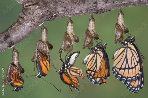 Deurstickers Vlinder Viceroy butterfly emerging