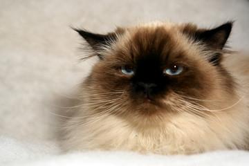 grumpy looking himalayan cat looking