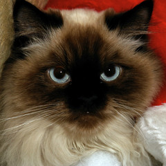 serious looking himalayan cat