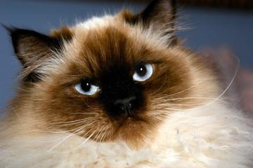 stern looking himalayan cat