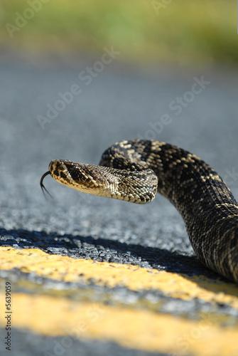 A large eastern diamondback rattlesnake Poster