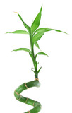 close-up of lucky bamboo against white background poster