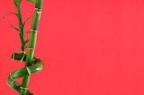 lucky bamboo background, focus is set on bamboo poster