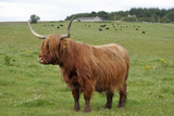 Shaggy Scottish cow poster