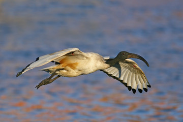 A Sacred Ibis in flight with water as a background