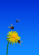 bees on dandelion